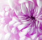Flor cor-de-rosa roxa branca do crisântemo closeup Imagens de Stock