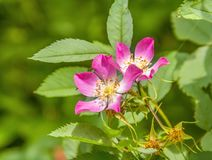 Flor cor-de-rosa selvagem Fotos de Stock