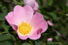 Flor cor-de-rosa selvagem Fotografia de Stock Royalty Free