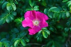 Flor cor-de-rosa selvagem Fotografia de Stock