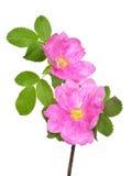 Flor cor-de-rosa selvagem Fotos de Stock Royalty Free