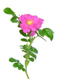 Flor cor-de-rosa selvagem Imagem de Stock