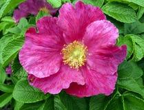 Flor cor-de-rosa selvagem cor-de-rosa bonita fotos de stock royalty free