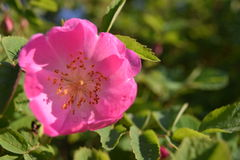 Flor cor-de-rosa selvagem colorida brilhante com pétalas cor-de-rosa Fotografia de Stock Royalty Free