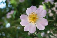 Flor cor-de-rosa selvagem com pétalas cor-de-rosa Fotos de Stock