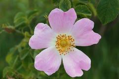Flor cor-de-rosa selvagem com pétalas cor-de-rosa Fotografia de Stock