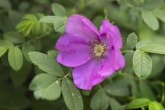 Flor cor-de-rosa selvagem cor-de-rosa Fotos de Stock Royalty Free