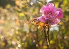 Flor cor-de-rosa selvagem cor-de-rosa com gotas da água Fotografia de Stock