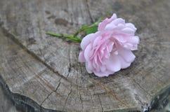 Flor cor-de-rosa selvagem delicada em um fundo de madeira escuro velho Foto de Stock Royalty Free
