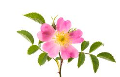 flor cor-de-rosa selvagem isolada Foto de Stock