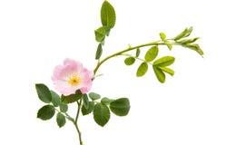 flor cor-de-rosa selvagem isolada Fotos de Stock