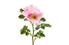 flor cor-de-rosa selvagem isolada Foto de Stock Royalty Free