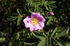 A flor cor-de-rosa selvagem levantou-se Foto de Stock