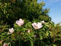 Flor cor-de-rosa Cor-de-rosa selvagem cor-de-rosa ou a cão-rosa florescem com folhas Imagens de Stock