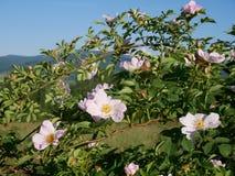 Flor cor-de-rosa Cor-de-rosa selvagem cor-de-rosa ou o dogrose florescem com as folhas no fundo do céu azul Fotos de Stock