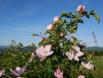 Flor cor-de-rosa Cor-de-rosa selvagem cor-de-rosa ou o dogrose florescem com as folhas no fundo do céu azul Fotos de Stock Royalty Free