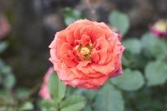 Flor cor-de-rosa sozinha do suporte bonito imagens de stock royalty free