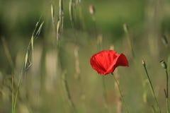Flor cor-de-rosa vermelha da papoila ou do milho Imagens de Stock