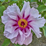 Flor cor-de-rosa vibrante da peônia Imagem de Stock