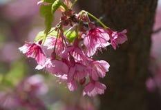 Flor cor-de-rosa vibrante de sakura, flor de cerejeira Imagens de Stock Royalty Free