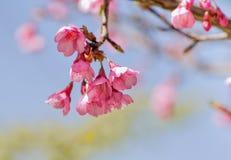 Flor cor-de-rosa vibrante de sakura, flor de cerejeira Fotografia de Stock