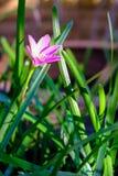 Flor cor-de-rosa de Zephyranthes, fim acima, nomes comuns para espécies dentro Imagens de Stock Royalty Free