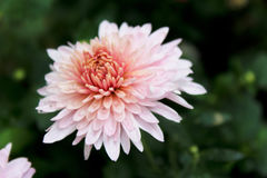 Flor coral Foto de Stock