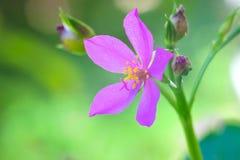 Flor coreana del ginseng Imagen de archivo libre de regalías