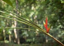 Flor-costela Rica de Heliconia Foto de Stock Royalty Free