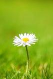 Flor crecida multa de la margarita Imagen de archivo