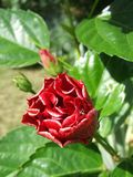 Flor cubana de Marpacifico Imagenes de archivo