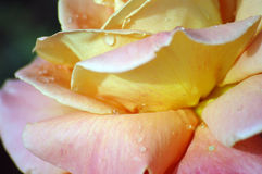 Flor cubierta de rocio Imágenes de archivo libres de regalías