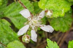 Flor cubierta en gotitas de agua, California del ursinus del Rubus de la zarzamora de California fotografía de archivo