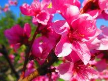 Flor cura surpreendente do pêssego imagens de stock