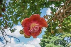 Flor da árvore da bola de canhão foto de stock