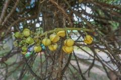 Flor da árvore da bola de canhão imagem de stock royalty free