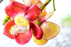 Flor da árvore da esfera de canhão. Fotografia de Stock Royalty Free