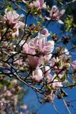 Flor da árvore da magnólia Foto de Stock