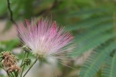 Flor da árvore da mimosa Imagens de Stock