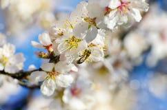Flor da árvore da mola Fotos de Stock Royalty Free