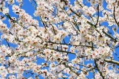 Flor da árvore da mola Imagem de Stock