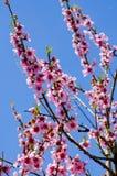 Flor da árvore da mola Fotografia de Stock Royalty Free