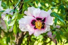 A flor da árvore da peônia expira, não faz? Fotografia de Stock
