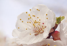 Flor da árvore de abricó Foto de Stock Royalty Free
