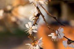 Flor da árvore de abricó Fotografia de Stock Royalty Free