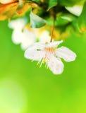 Flor da árvore de amêndoa imagem de stock royalty free