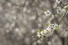 Flor da árvore de amêndoas imagens de stock