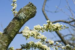 Flor da árvore de ameixa Imagens de Stock Royalty Free