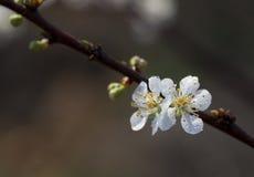 flor da árvore de ameixa foto de stock royalty free
