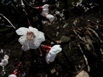 Flor da árvore de ameixa Foto de Stock